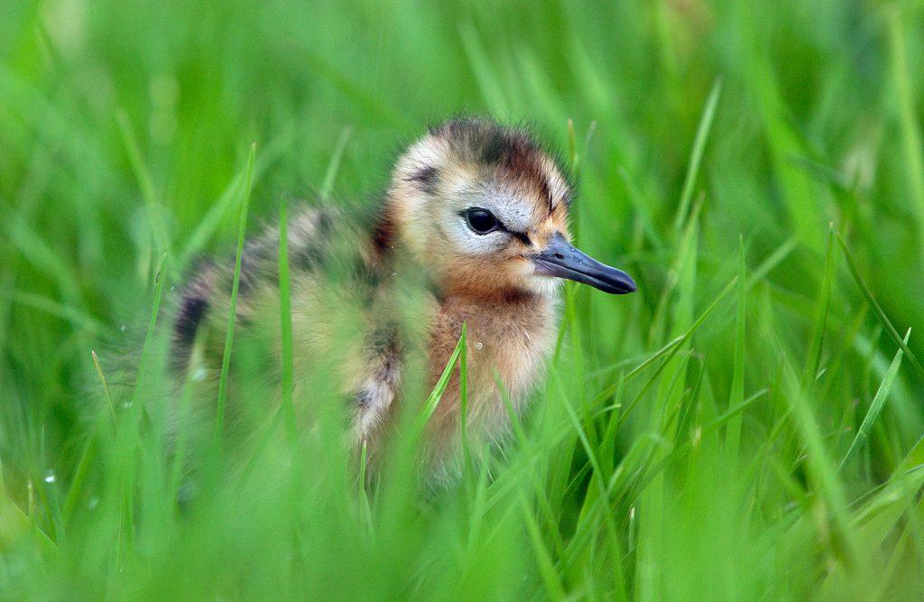 Black-tailed Godwit (Limosa limosa) day-old chick, Waterland, Netherlands