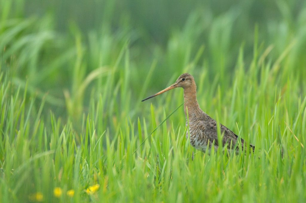Black-Tailed-Godwit-Cambridgeshire-Chris-Gomersall-rspb-images.com_
