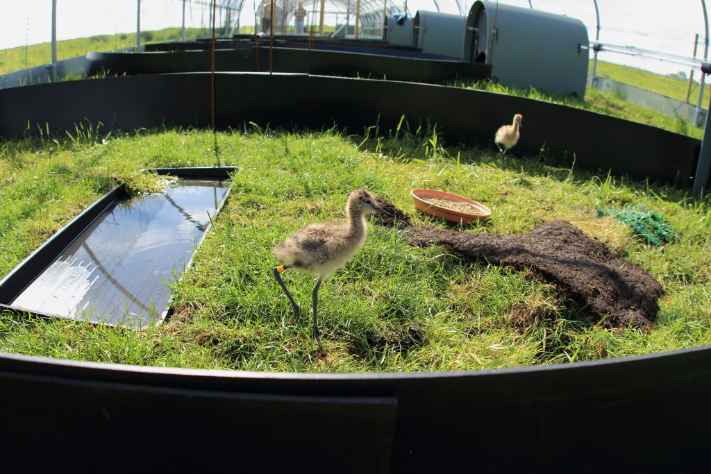WE-GT-Project Godwit rearing pens (3)