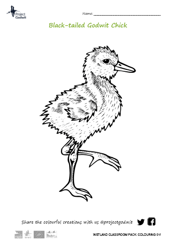 Godwit chick