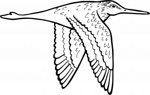 Godwit flying