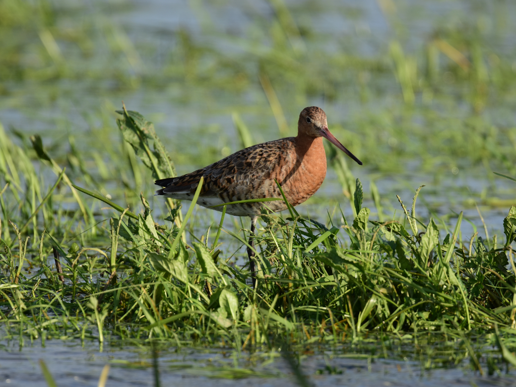 Adult black-tailed godwit at the Nene Washes. Photo by Mark Whiffin/RSPB.