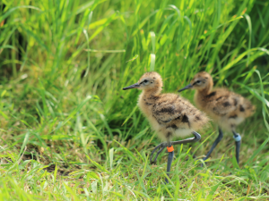 Black-tailed godwit chicks. Photo by Bob Ellis/WWT.