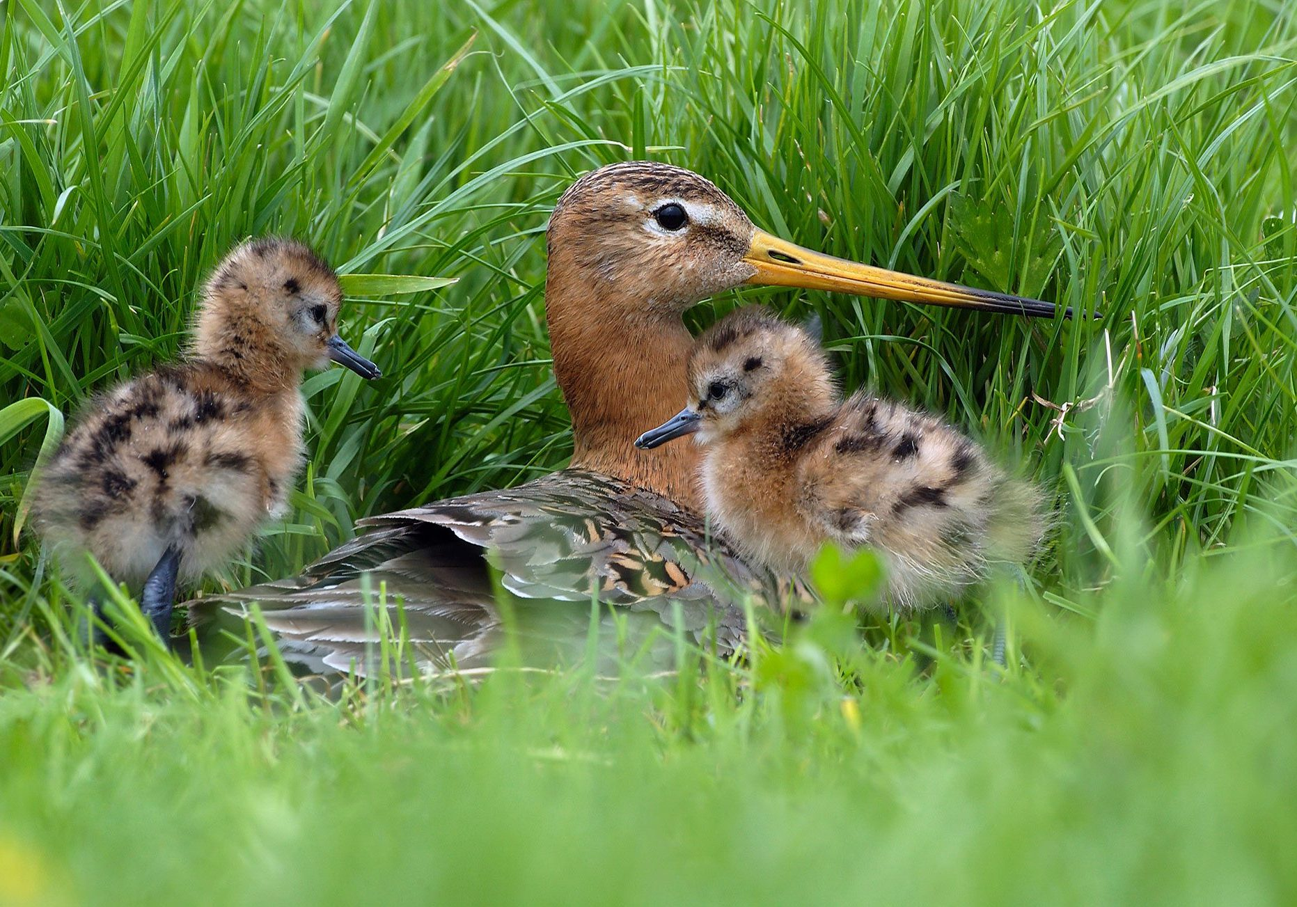 Black-tailed Godwit (Limosa limosa) mother with chicks at nest, Waterland, Netherlands